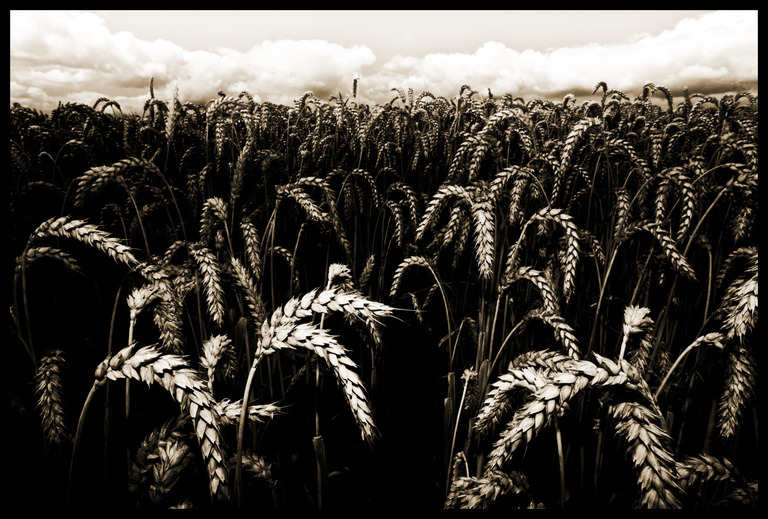 Frank Titze, Ulm/Germany - No. 325 : Art Photography 2015 - Corn - 947x640 Pixel - 268 kB